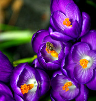 Beeautiful Crocus